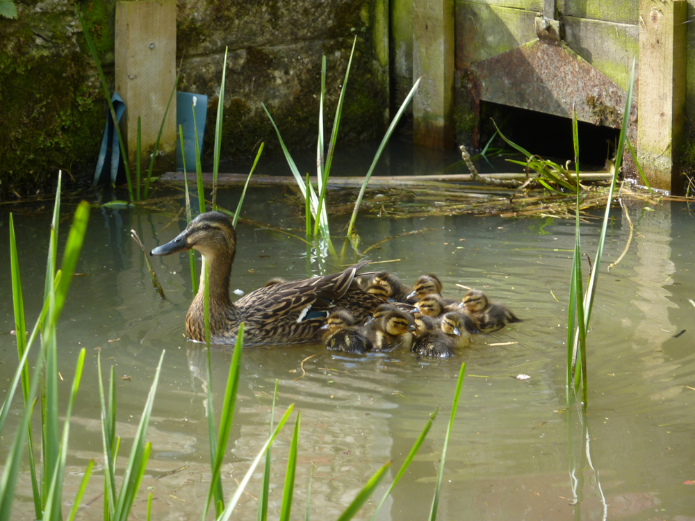 Ducks and ducklings at Low Costa Mill