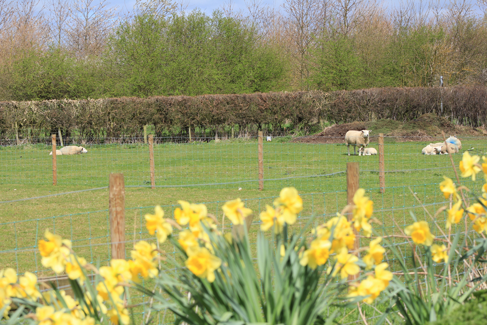 Spring time newborn lambs and daffodills at Low Costa Mill