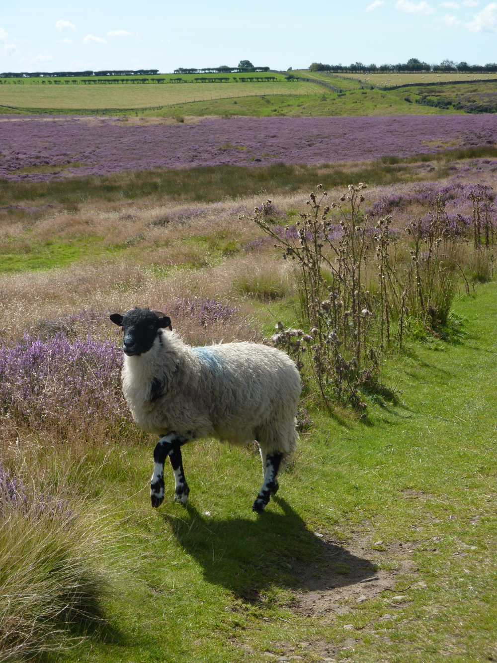 North York Moors National Park sheep and heather