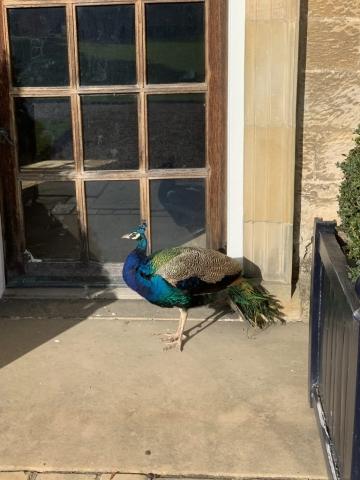 Peacocks and Peahens roam around Nunnington Hall