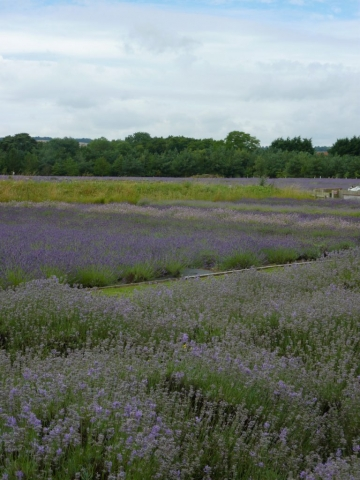 Fragrant lavender fields with lots of family fun activities at Wolds Way Lavender